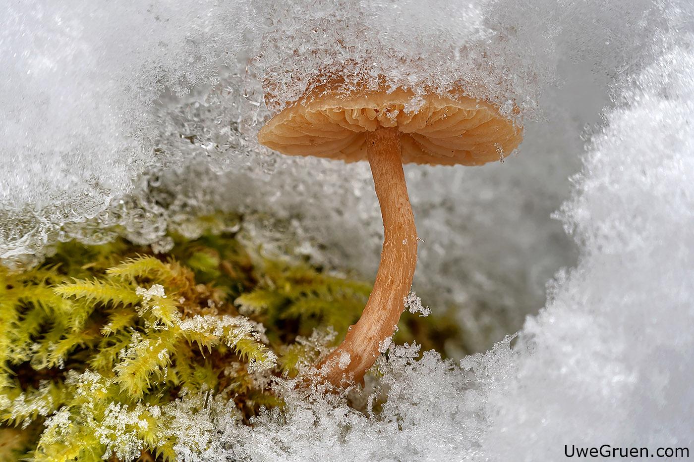 Pilz in Schneehöhle